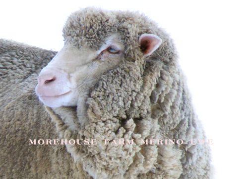 sheepy goodness